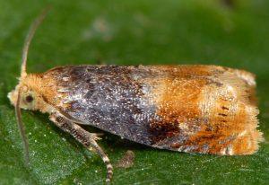 Lepteucosma huebneriana 73 2