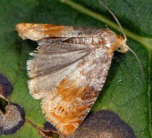 Lepteucosma huebneriana 73 3
