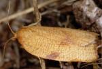 Lozotaenia cupidinana 06 2
