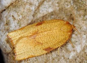 Lozotaenia cupidinana