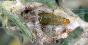 Lozotaenia cupidinana L3 06 3