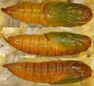 Lozotaenia cupidinana chrysalide 06 1