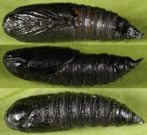 Lozotaenia cupidinana (Staudinger, 1859)