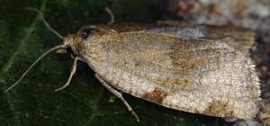 Lozotaenia forsterana 06 1