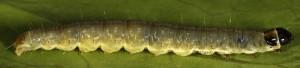 Lozotaenia forsterana (Fabricius, 1781)