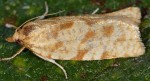 Lozotaenia mabiliana 2B 3