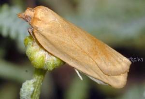 Lozotaenia mabiliana