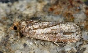 Lozotaeniodes cupressana 06 1