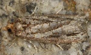 Lozotaeniodes cupressana 06 2