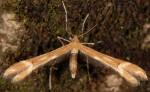Marasmarcha lunaedactyla 06 2