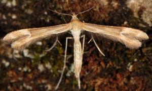 Marasmarcha oxydactylus 06 1
