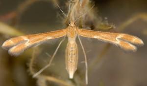 Marasmarcha oxydactylus 06 2