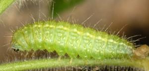 Marasmarcha oxydactylus L5 06 2