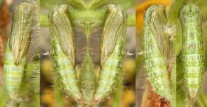 Marasmarcha oxydactylus chrysalide 06 1