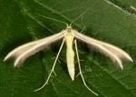 Merrifieldia icterodactylus 2B 2