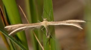 Merrifieldia leucodactyla 06 1