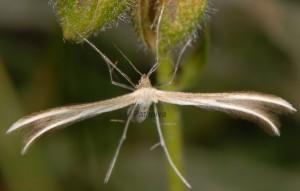 Merrifieldia leucodactyla 06 2