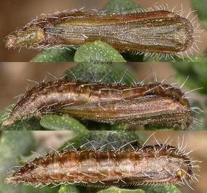 Merrifieldia leucodactyla chrysalide 06 1