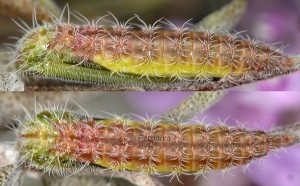 Merrifieldia leucodactyla chrysalide 06 2
