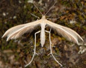 Merrifieldia malacodactylus 06 1