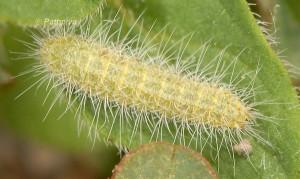 Merrifieldia malacodactylus L5 06 1