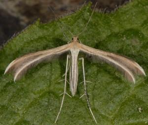 Merrifieldia moulignieri 2A 2