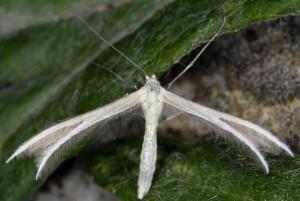 Merrifieldia moulignieri 2B 1
