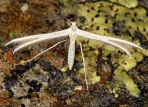 Merrifieldia moulignieri 2B 2