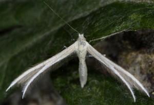 Merrifieldia moulignieri 2B 3