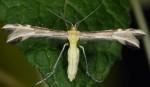 Merrifieldia semiodactylus 2A 3