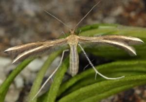 Merrifieldia spicidactyla 06