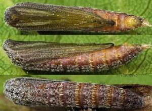 Merrifieldia spicidactyla chrysalide 06 1