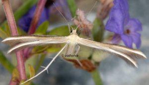 Merrifieldia tridactyla 06 2