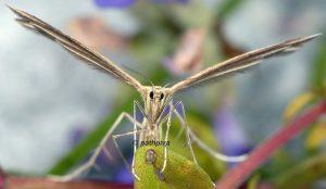 Merrifieldia tridactyla 06 3