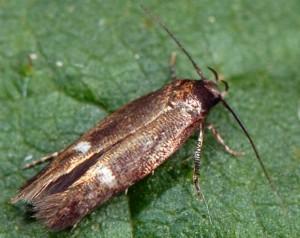 Mompha langiella 38 3