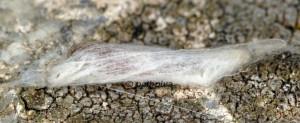 Mompha sturnipennella cocon 06 1