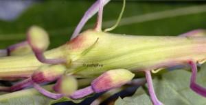 Mompha sturnipennella galle 06 2
