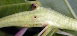 Mompha sturnipennella galle 06 3