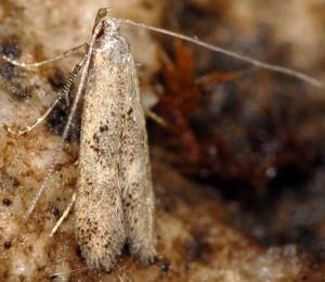 Neomariania partinicensis 06 1