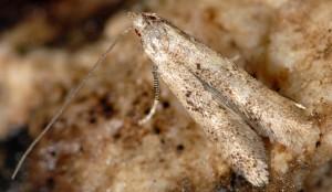 Neomariania partinicensis 06 2