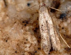 Neomariania partinicensis 06 3