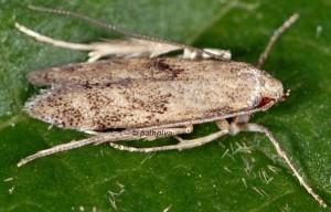 Neomariania partinicensis 13 1