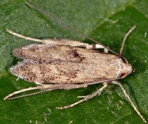 Neomariania partinicensis 13 2