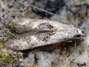 Neomariania partinicensis 2B 1