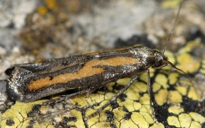 Ochromolopis ictella 06 2