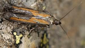 Ochromolopis ictella 06 3
