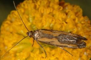 Ochromolopis ictella 1