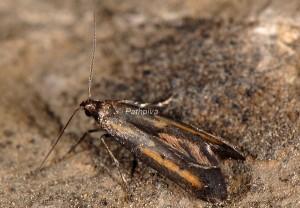 Ochromolopis ictella