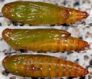 Ochromolopis ictella chrysalide 06 1
