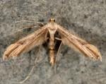 Oidaematophorus constanti 06 1
